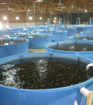 Kweekfaciliteit voor poetsvisjes