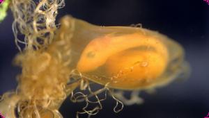 Hondshaai embryo met eikapsel